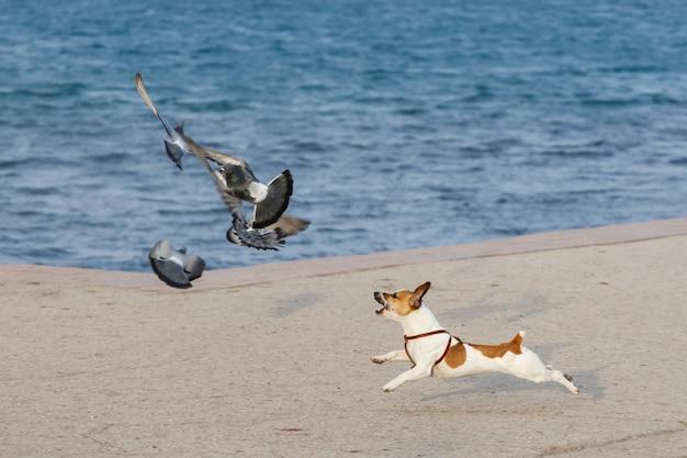 Маленькая породистая собака гонится за голубями на берегу моря