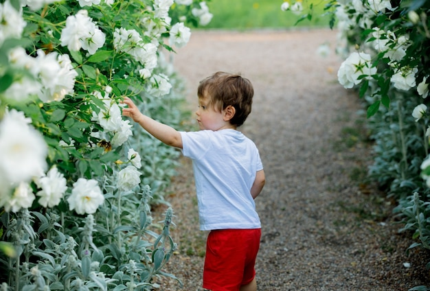 Little toddler boy walking down on white roses alley in a park