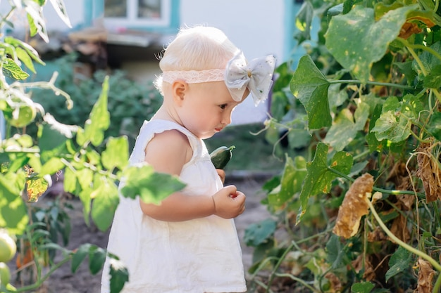 Little toddler girl with white hair collects crop of cucumbers on greenhouse. yellowed withered leaves of cucumbers. last crop of fresh vegetables in beds at summer. helthy organic eating for kid