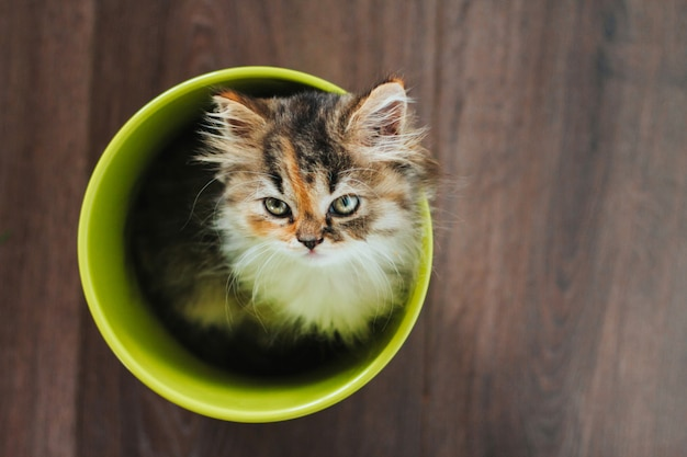 Little tricolor kitten sits in a green pot on a wooden floor