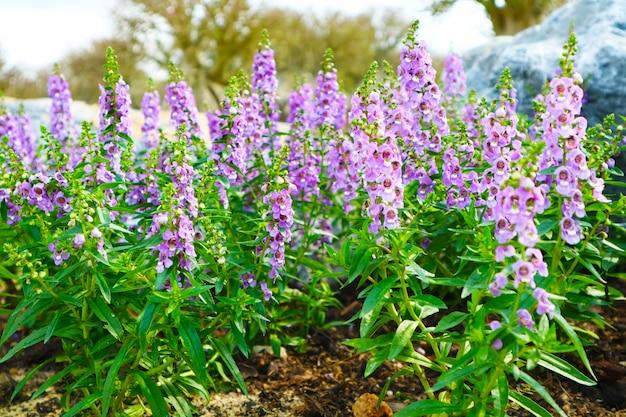 リトルタートルフラワー、アンジェロニアは一年を通してリリースできる二年生植物です