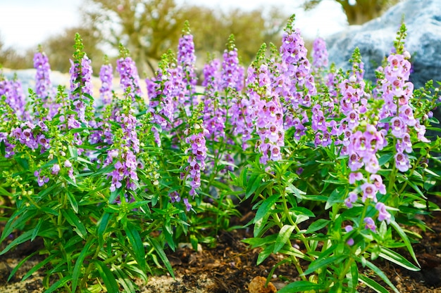 Little turtle flower, angelonia is biennial plants that can be released throughout the year