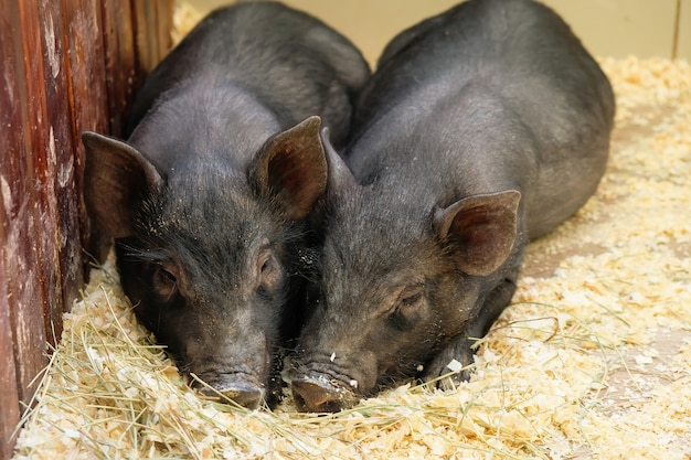 Little two black pigs lie near on the farm