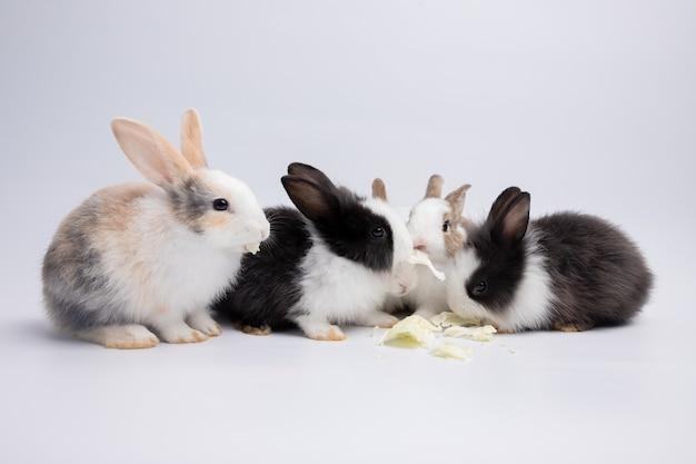 Маленький белый и черный кролик ест капусту на изолированном фоне белой или старой розы в студии. его маленькие млекопитающие в семье