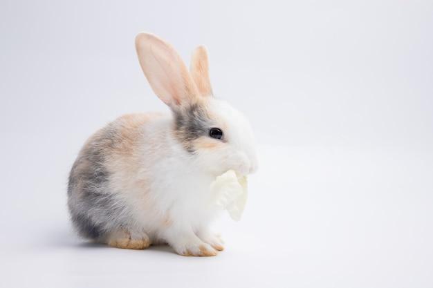 Маленький белый и коричневый кролик ест капусту на изолированном фоне белой или старой розы в студии. его маленькие млекопитающие в семье
