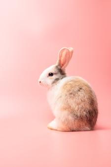 スタジオで孤立したピンクまたは古いバラの背景に座っている小さな白と茶色のウサギ。