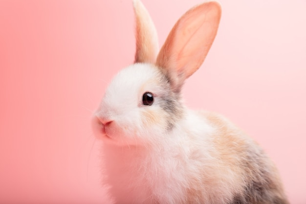 Маленький белый и коричневый кролик, сидя на изолированном фоне розовых или старых роз в студии.