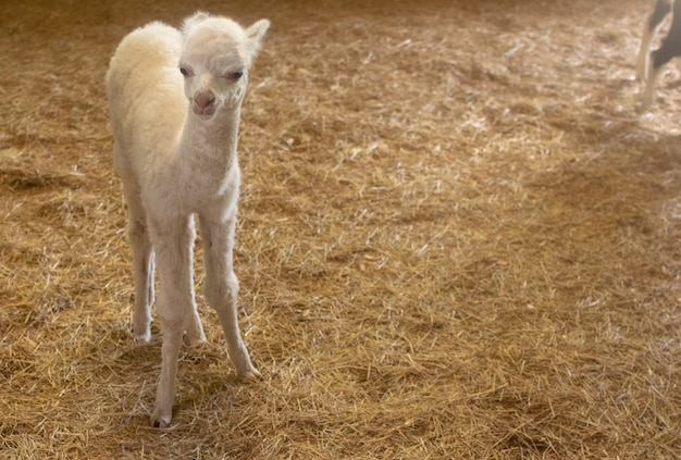 Little white baby lama in the hay cage