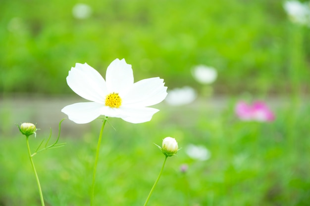 緑のボケbaclgroundと小さな白いデイジーの花