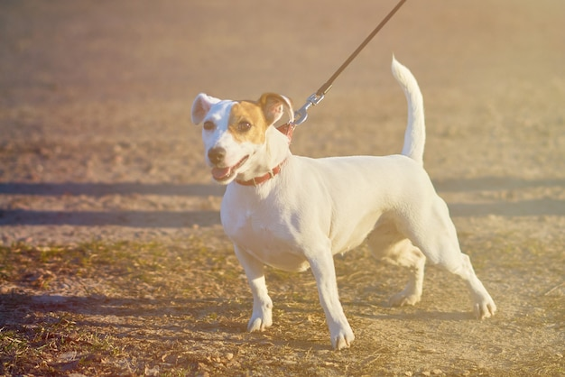 Маленькая белая собачка