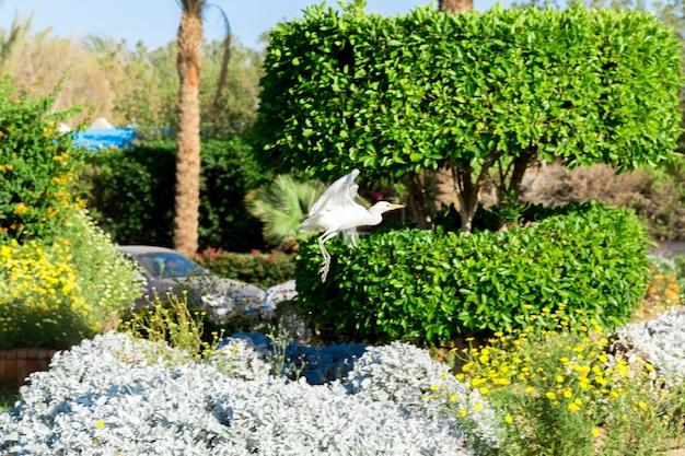 Little white egret in flying in sunny egypt