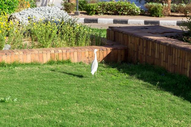 Little white egret on grass in sunny egypt