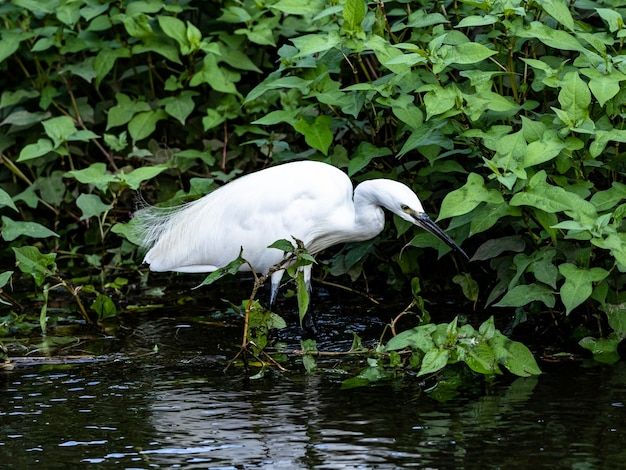 Little white egret standing in the water in izumi forest park, yamato, japan
