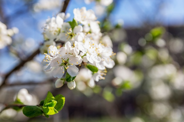 Little white flowers on a tree. blooming plum tree on a wall of blue sky. close-up.