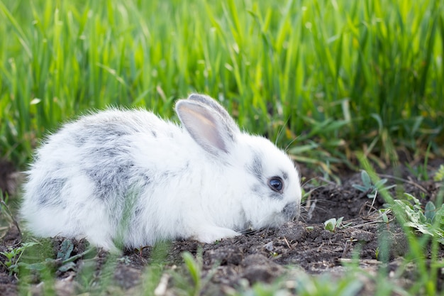Little white fluffy rabbit on a green meadow.