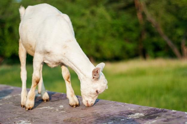 夕日の小さな白いヤギは牧草地で食べます。