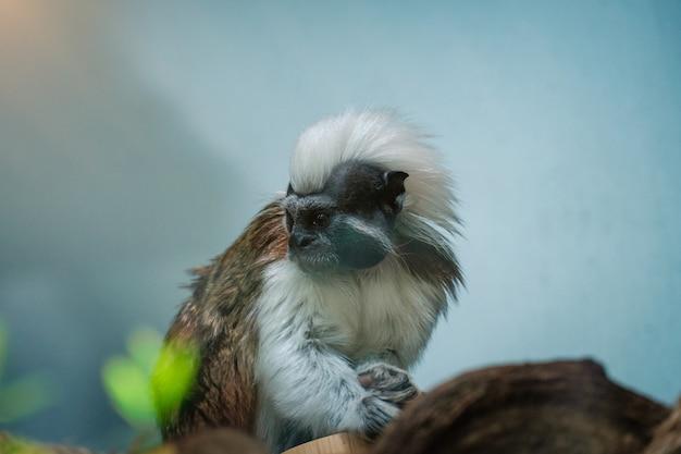 녹색 정글에서 작은 흰머리 원숭이