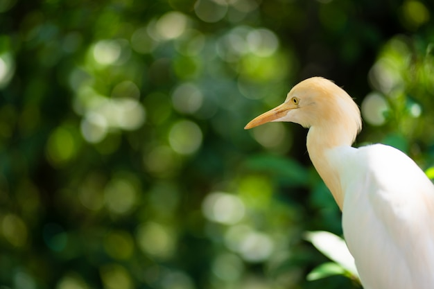Little white heron with a yellow head in a green park. bird watching