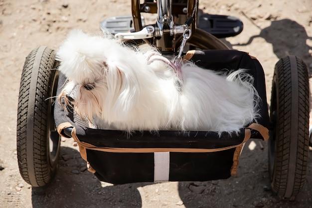작은 흰색 몰타 랩독은 자전거 바구니에 앉습니다. 여행할 때 애완 동물 운송