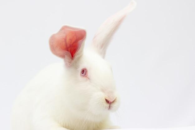 小さな白いウサギ。白い背景で隔離