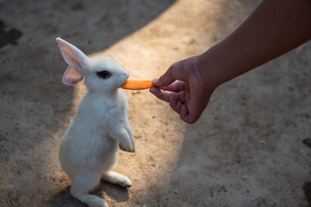 작은 흰 토끼가 서서 사람이 당근 먹이를 먹습니다.