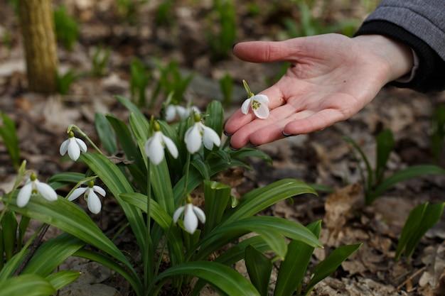 春の森の小さな白い野生の花スノードロップ