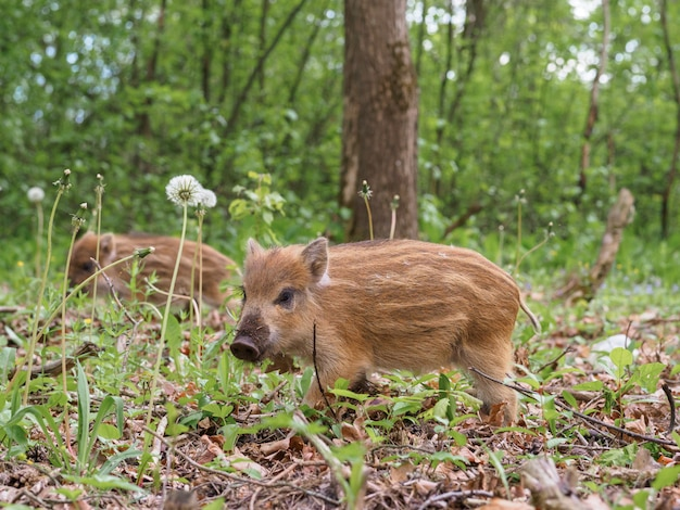 Little wild boar in the grass in the spring forest