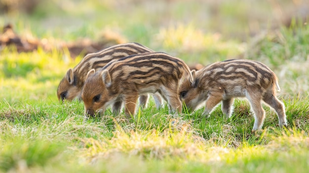 Маленькие поросята кабана кормятся на лугу в весенней природе