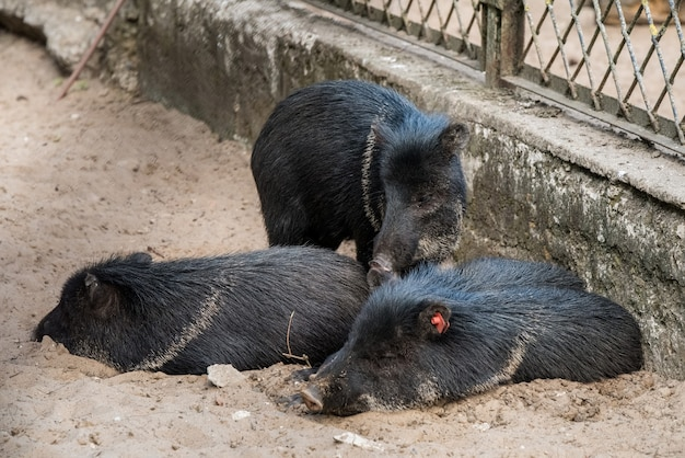 작은 멧돼지들이 모래 위에 누워 잠을 자고 있습니다.