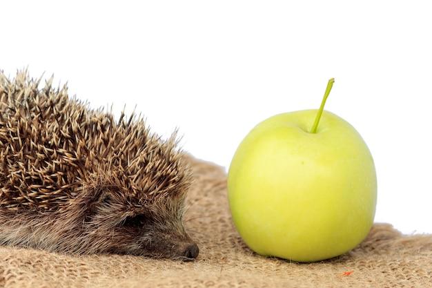 Маленький дикий ёжик и зеленое яблоко на вретище. белый изолированный фон