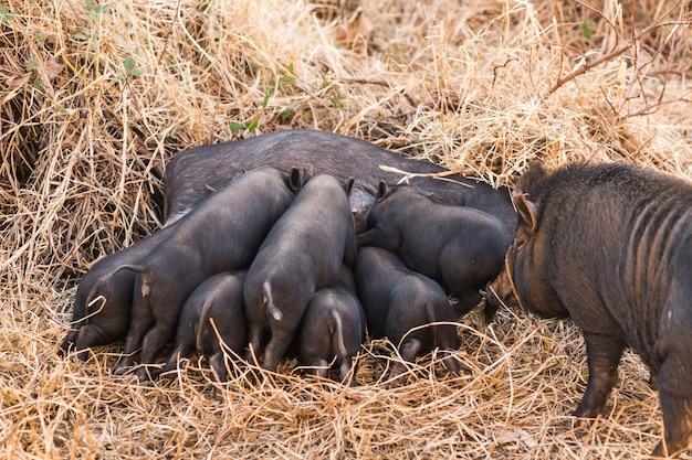 자연에서 그들의 어머니에게 젖을 먹이는 작은 야생 새끼 돼지