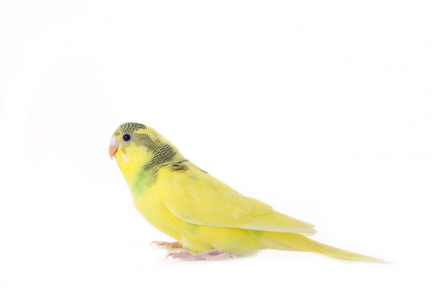 Little yellow budgerigar isolated