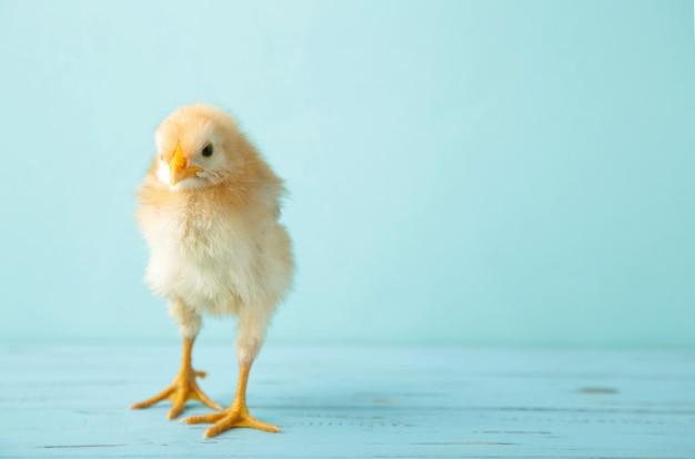 青い背景に小さな黄色い鶏。上面図