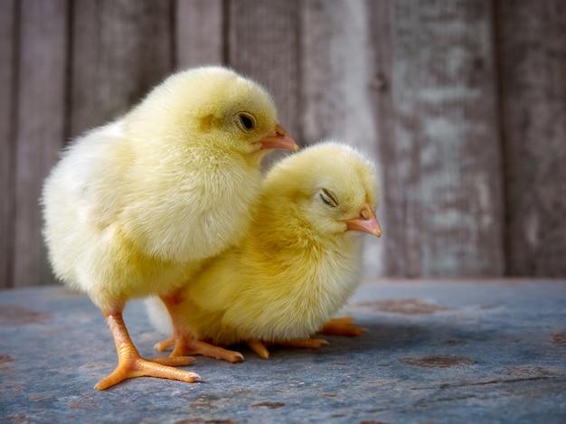 小さな黄色のかわいい赤ちゃんのひよこ