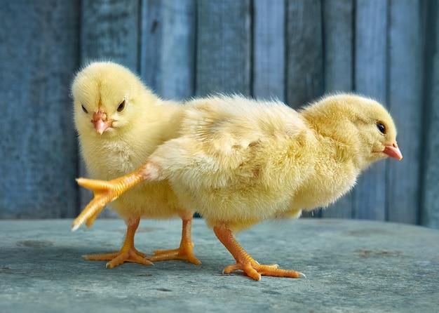 小さな黄色のかわいい赤ちゃんの雛。