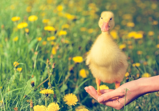 Little yellow duckling on hand