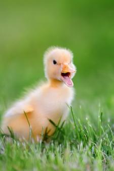 Маленький желтый утенок на зеленой траве