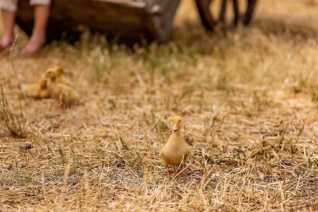 Маленькие желтые утята бегают по сухой траве, соломе во дворе села