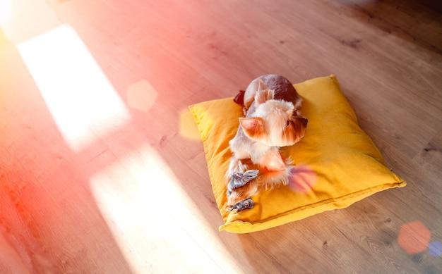 家で座って遊んでいる小さなヨーク犬