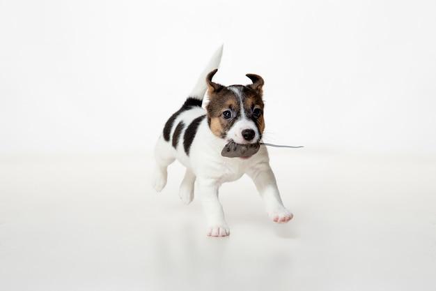 쾌활한 포즈를 취하는 작은 어린 개. 흰색 스튜디오 배경에서 노는 귀여운 장난기 많은 갈색 흰색 강아지 또는 애완 동물. 움직임, 행동, 움직임, 애완동물 사랑의 개념. 즐거워 보인다, 재미있다. 광고에 대 한 copyspace입니다.