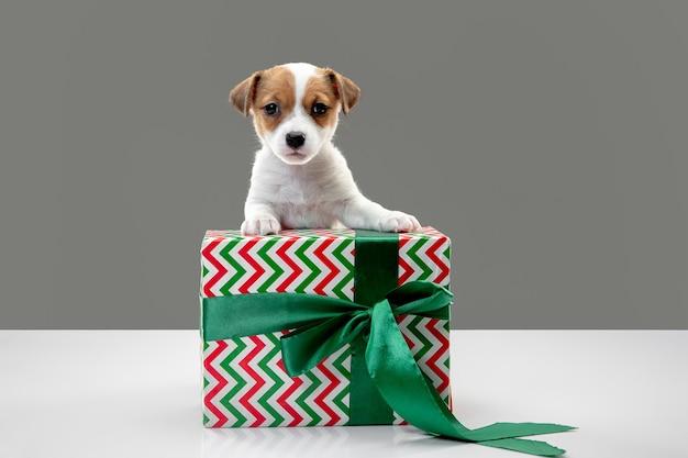 생일에 큰 선물을 가진 작은 어린 개. 회색 스튜디오 배경에 있는 귀엽고 장난기 많은 갈색 흰색 강아지나 애완동물. 휴일, 애완 동물 사랑, 축하의 개념. 재미있어 보인다. 카피스페이스.
