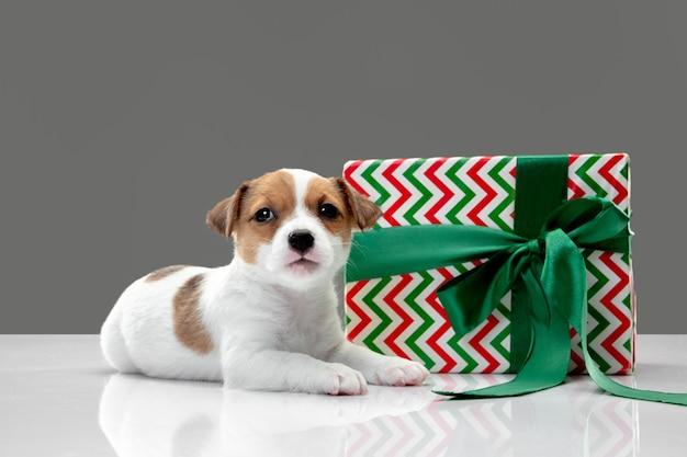 새해나 생일을 위한 큰 선물을 가진 작은 어린 개. 회색 스튜디오 배경에 있는 귀엽고 장난기 많은 갈색 흰색 강아지나 애완동물. 휴일, 애완 동물 사랑, 축하의 개념. 재미있어 보인다. 카피스페이스.