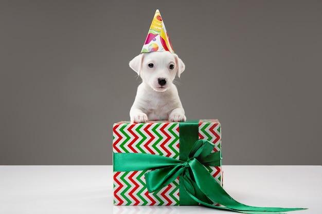 パーティー用のバースデーキャップを身に着けている大きな贈り物を持つ小さな若い犬。灰色のスタジオの背景にかわいい遊び心のある茶色の白い犬やペット。休日の概念、ペットの愛、祝う。面白そうだ。コピースペース。
