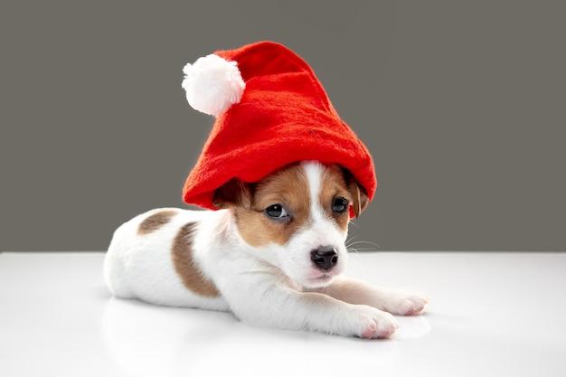 2021년 새해를 맞이하는 크리스마스 모자를 쓴 어린 강아지. 회색 스튜디오 배경에 있는 귀엽고 장난기 많은 갈색 흰색 강아지 또는 애완동물. 휴일, 애완 동물 사랑, 축하의 개념. 재미있어 보인다. 카피스페이스.
