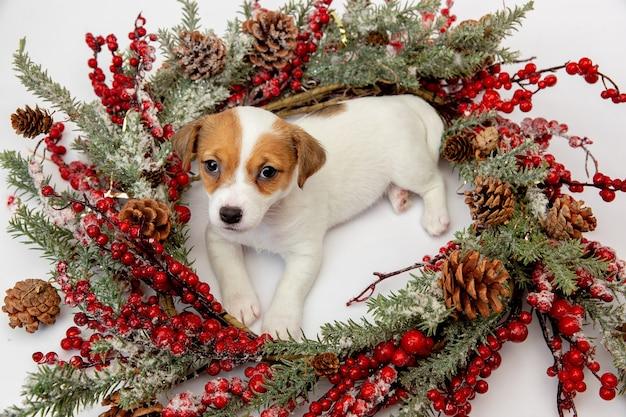 2021年の新年を迎えるクリスマスリースの小さな若い犬。白いスタジオの背景にかわいい遊び心のある茶色の白い犬またはペット。休日の概念、ペットの愛、祝う。面白そうだ。コピースペース。