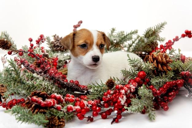 2021년 새해를 맞이하는 크리스마스 화환을 들고 있는 작은 어린 개. 흰색 스튜디오 배경에 있는 귀엽고 쾌활한 갈색 흰색 강아지나 애완동물 휴일, 애완 동물 사랑, 축하의 개념. 재미있어 보인다. 카피스페이스.