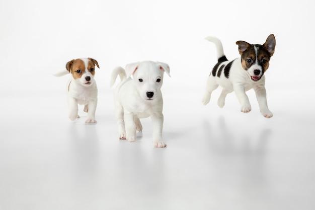 작은 어린 개들이 포즈를 취하고 있습니다. 흰색 스튜디오 배경에서 노는 귀여운 장난기 많은 갈색 흰색 강아지나 애완동물. 움직임, 행동, 움직임, 애완동물 사랑의 개념. 즐거워 보인다, 재미있다. 광고에 대 한 copyspace입니다.