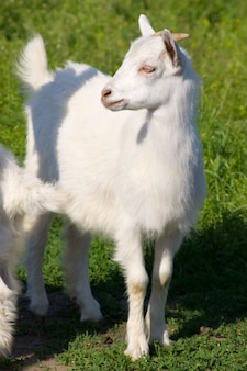 Little young white goat at the meadow