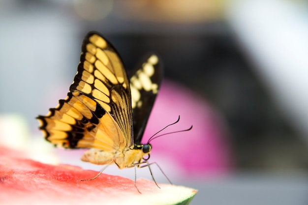 Живая бабочка с желтым крупным планом крыльев.