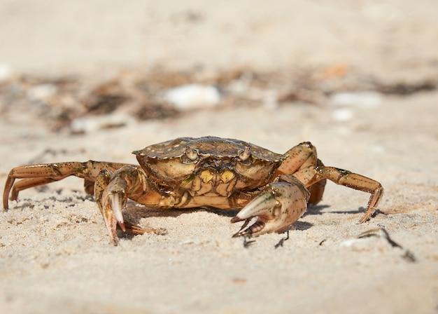 바다의 모래 사장에 살아있는 게
